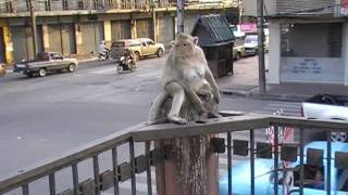 Lopburi Thailand  city photo : City of Monkeys - Lopburi - Thailand
