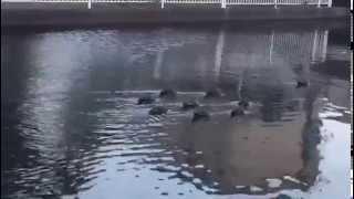 Siguiendo los patos por tranquilidad