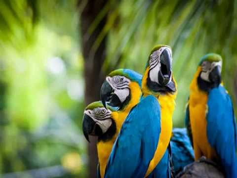 Video Beautiful Parrots - Beautiful Birds Parrots Majestic Birds Nature Documentary Parrot Confidential download in MP3, 3GP, MP4, WEBM, AVI, FLV January 2017