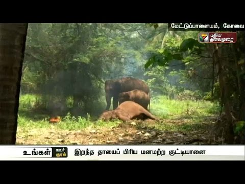 Baby-elephant-tries-to-rouse-dead-mother-in-Mettupalayam