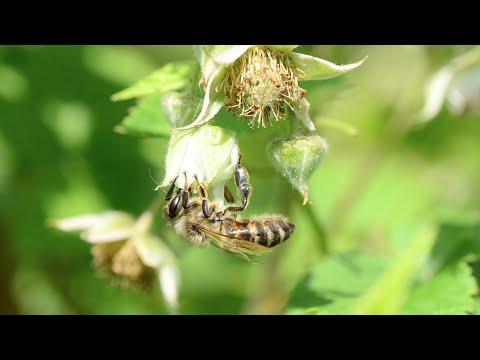 當蜜蜂滅絕時 代表世界末日也將降臨....