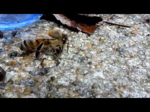 Thirsty honey bees (Apis mellifera)