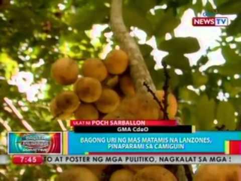 BP: Bagong uri ng mas matamis na lanzones, pinaparami sa Camiguin