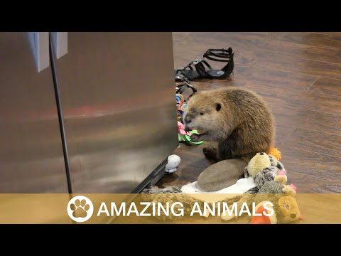 Adorable Rescue Beaver Builds Dam Out Of Household Items