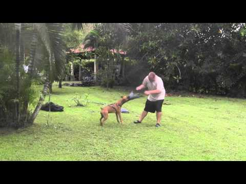 PERROS DE ATAQUE - http://www.miadiestramientodeperros.com/como-entrenar-un-perro-de-ataque.