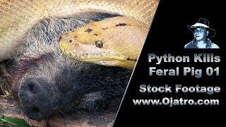 Video Python Kills Wild Boar 01 Stock Footage MP3, 3GP, MP4, WEBM, AVI, FLV Mei 2017
