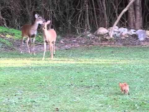 Chihuahua stalks deer in our backyard ;-)