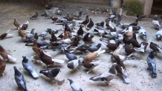 Türkiye Güvercin Forum Sitesi MARDİN HAVA VE KOSTÜM KUŞLARI
