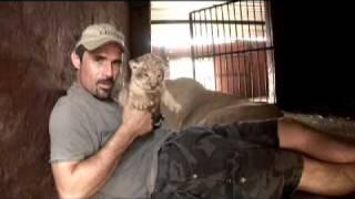 Chciał podnieść jej nowo narodzonego kociaka! Niezwykła reakcja lwicy sprawiła, że zaniemówiłam!