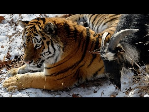صداقة بين النمر و الماعز  !!! مشهد غريب جداا