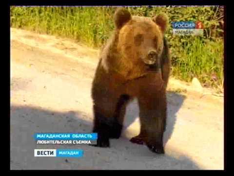 Медведи хозяйничают в пригороде Магадана. (видео)