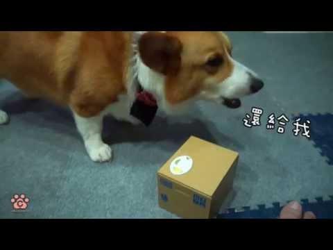 正要享用點心時卻被盒子裡冒出的貓咪偷走,柯基努力討回食物的模樣會害人笑到岔氣啊!