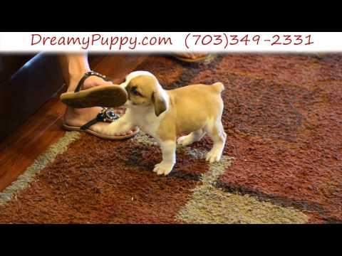 Gorgeous EngAm Bulldog Male Puppy 2
