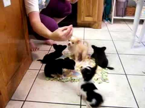 Puppy Training – Puppies For Sale-Visit www.chihuahuasweelove.com