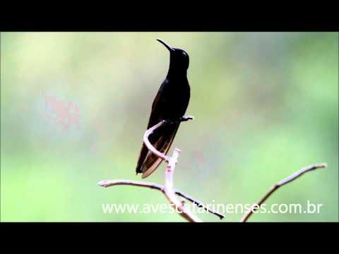 Beija-flor-preto - Cristiano Voitina