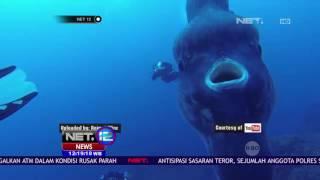 Video Sudah 3 Kali Ikan Mola - mola Terdampar - NET 12 MP3, 3GP, MP4, WEBM, AVI, FLV Oktober 2018