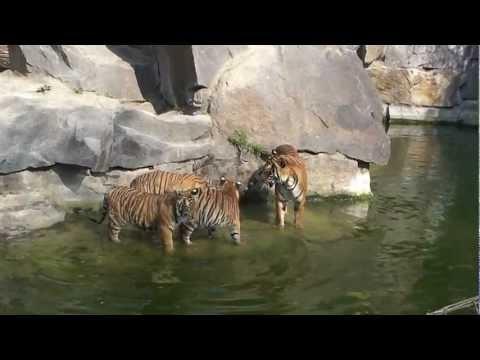 Tigermutter mit ihren vier 8 Monate alten Jungen