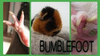 Bumblefoot can be a common ailment in guinea pigs, but not many owners know about it or how serious it can become! This video summarises the key information, including how to recognise it and how to go about treating it. Apologies for the graphic photos!USEFUL LINKS:http://www.guinealynx.info/pododermatitis.htmlhttp://www.wikihow.com/Treat-Bumblefoot-in-Guinea-Pigshttp://sawneeanimalclinic.com/downloads/bumblefoot_pododermatitis_in_guinea_pigs.pdfhttps://www.guineapigwelfare.org.uk/guinea-pig-care/health/pododermatitis-bumblefoot/