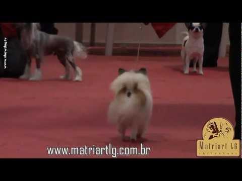 Show Dog Chihuahua – Matriart LG Homus KCSP Outubro 2011