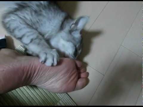 「[ネコ]『足、くっさ!でも、たまらんわw』という表情を見せる足裏フェチな猫。」のイメージ