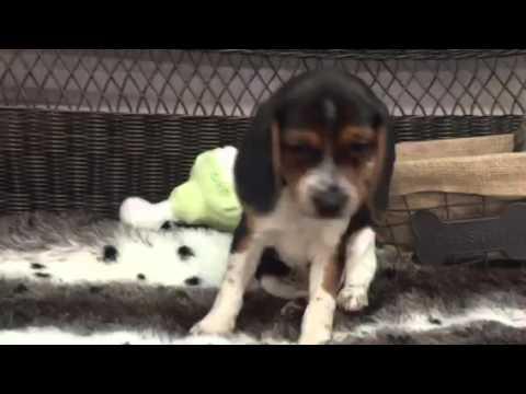 Perfect Tricolor Male Beagle