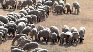 """【千葉】人文字ならぬ""""羊""""文字で描かれたのは?"""