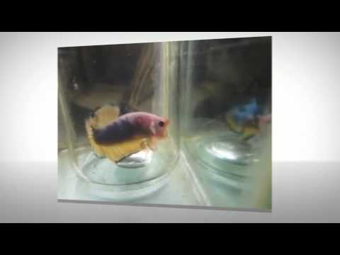 JUNAX QUALITY BETTA | CONTACT 09161246266 IF YOU WANT TO ORDER