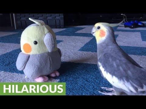 il-pappagallino-e-il-suo-alias-pupazzo