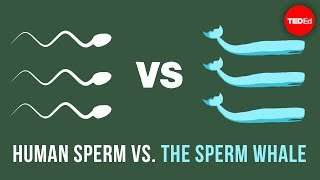 The physics of sperm vs. the physics of sperm whales