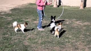 Happy hoop jumping circus dogs
