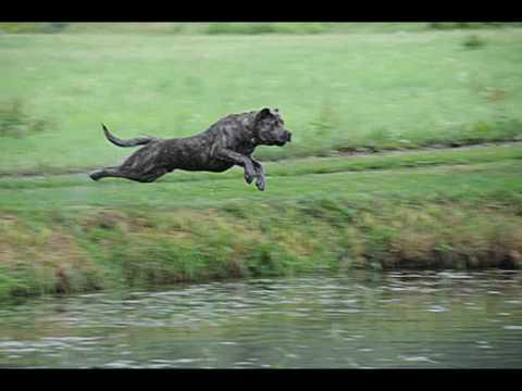 Calandor de la Guardia Perro de presa Canario Dogo Canario Working