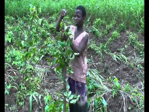 Production videos from Wadep: Yam production