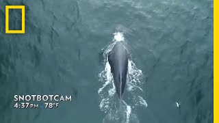 Scientists Fly a Drone to Collect Whale Snot | National Geographic