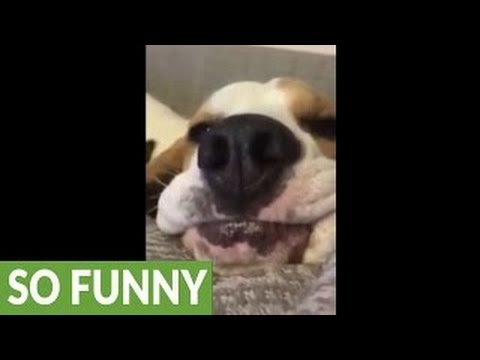 Chinakwe's Dog Buhari Bites President Buhari in Aso Rock Abuja-Hilarious