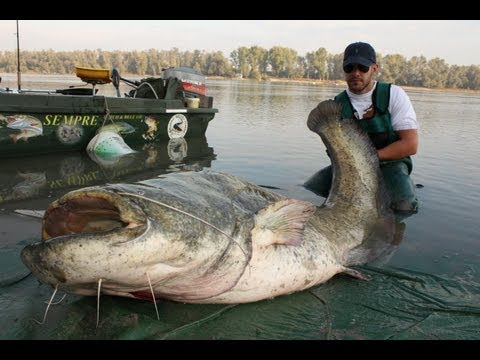AWESOME MONSTER CATFISH - HD by YURI GRISENDI