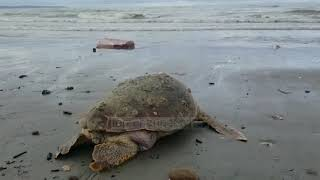 Dallgët nxjerrin në bregdetin e Durrësit breshkën e rrallë (Video)