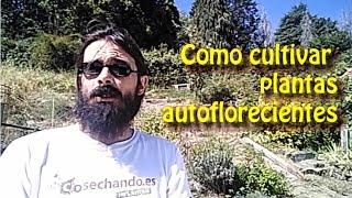 Video Como cultivar plantas autoflorecientes MP3, 3GP, MP4, WEBM, AVI, FLV Februari 2019