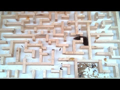 Bigger, tighter mouse maze experiments (видео)