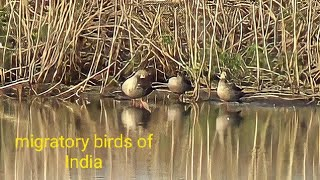 Amravati India  City pictures : Migratory Birds Winter home Natural Habitat near Amravati India
