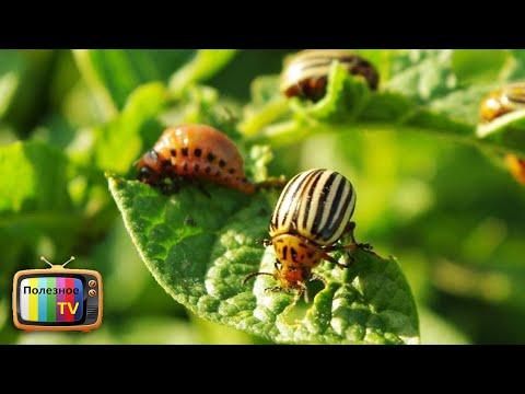 Супер средство для избавления от колорадского жука