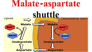 Malate-aspertate shuttle