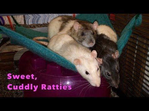Sweet, Cuddly Ratties
