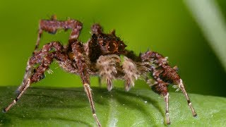 Spider With Three Super Powers - The Hunt - BBC Earth