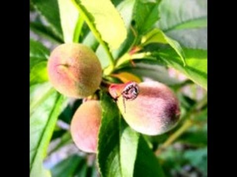 4 tips on how to for feeding your  fruit trees.