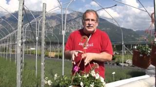 #405 Eine fast weisse Ampel für sonnigen Standort (Geranien, Kartoffelblümchen)