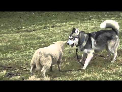 Un mouton s'amuse avec un Husky