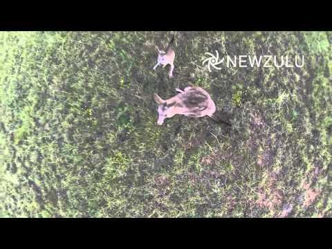 Кенгуру против квадрокоптера