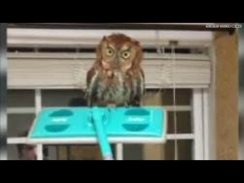 owl - Colton Wright tells CNN he got home Thursday night around 9 p.m. and found his cat scuffling in the house with this poor owl. He believes his cat brought it ...