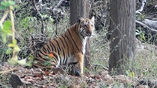 Pench India  city photos : Tigers of Pench National Park, M.P., India