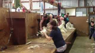 Gore New Zealand  City new picture : Sheep shearing Gore nz
